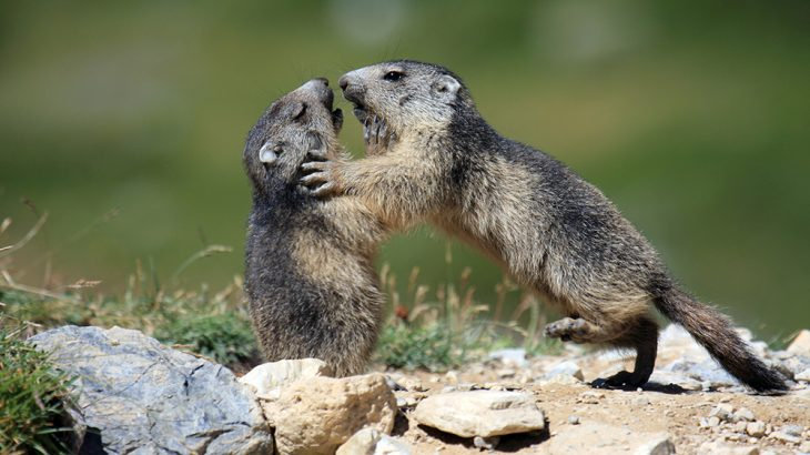 A genome study revealed that the alpine marmot lost its genetic diversity during extreme climate events and has never been able to recover.