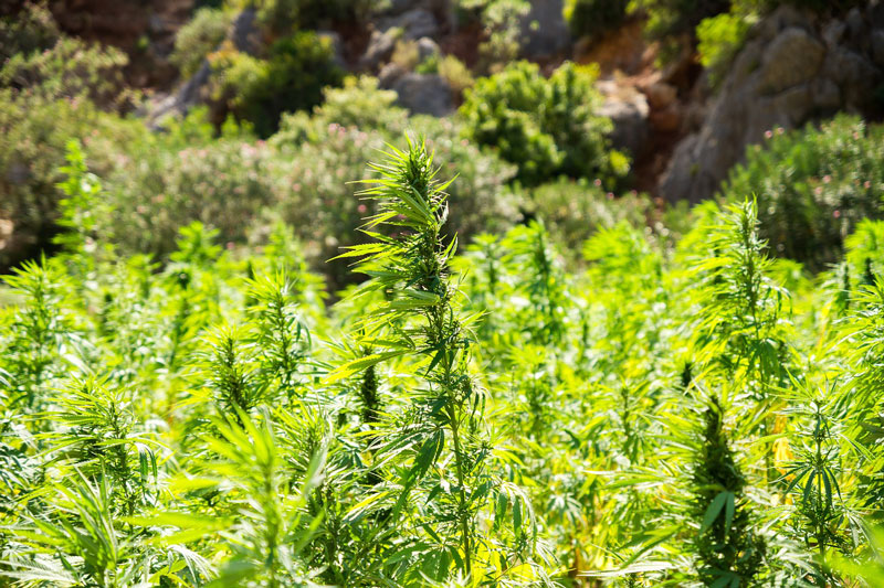 hemp cannabis
