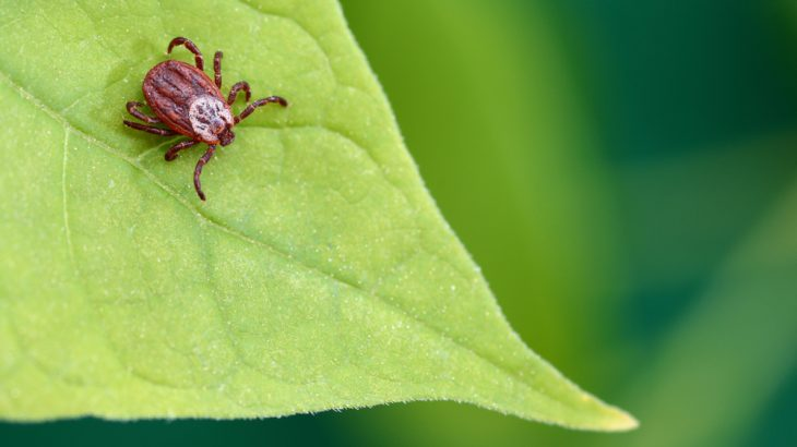 A parasitic mite sits on a leaf. A genetic study of mites and ticks found they may be from the same evolutionary lineage.