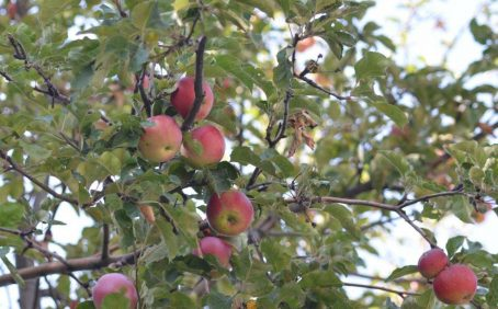 Ancient apple seeds and genetic studies recently revealed that the modern apple is a hybrid of at least four wild apples.