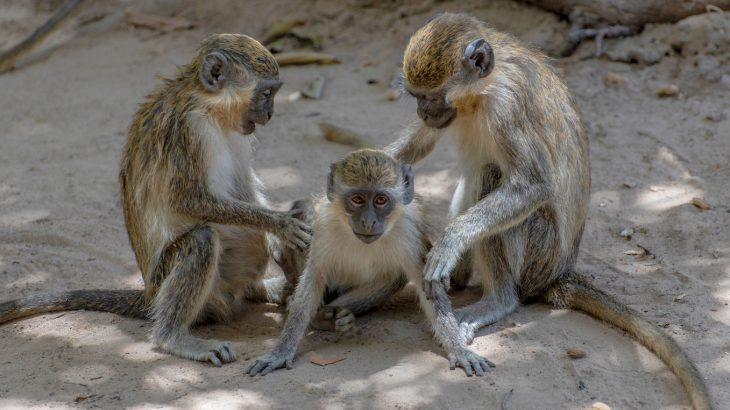In an effort to better understand how human language developed, a team of scientists has analyzed the vocalizations of vervet monkeys.
