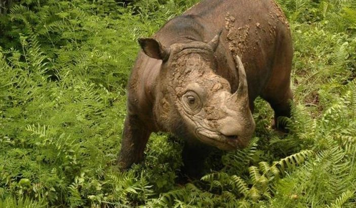The last male Sumatran rhino in Malaysia has died of liver and kidney damage, the Borneo Rhino Alliance confirmed.