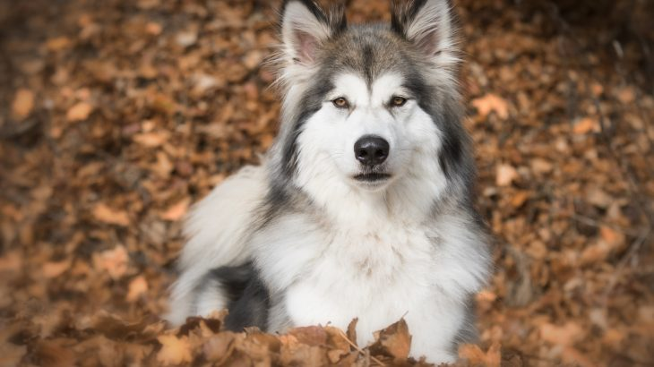 Wolf-dog hybrids have become so numerous in Europe that there are now concerns that the hybrid animals could drive wolf populations to extinction.