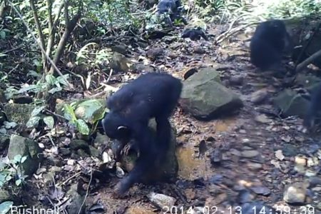 Today's Video of the Day from Kyoto University shows chimpanzees searching for freshwater crabs in the rainforest of the Nimba Mountains in Guinea, West Africa.