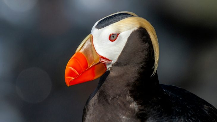 A new study reports that climate change is most likely partially responsible for a mass starvation-based die-off of puffins in the Bering Sea.