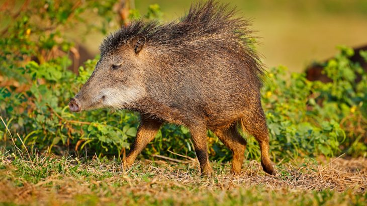 Rickettsia bacteria is the true cause behind Rocky Mountain spotted fever is found in wild boars, hunting dogs, and hunters in Brazil.