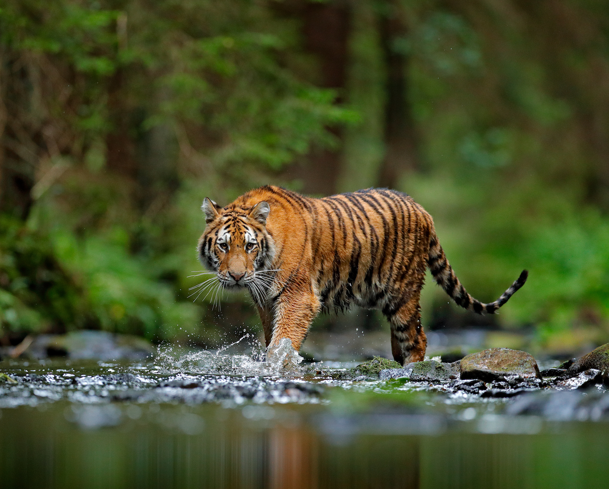 Tige Tiger