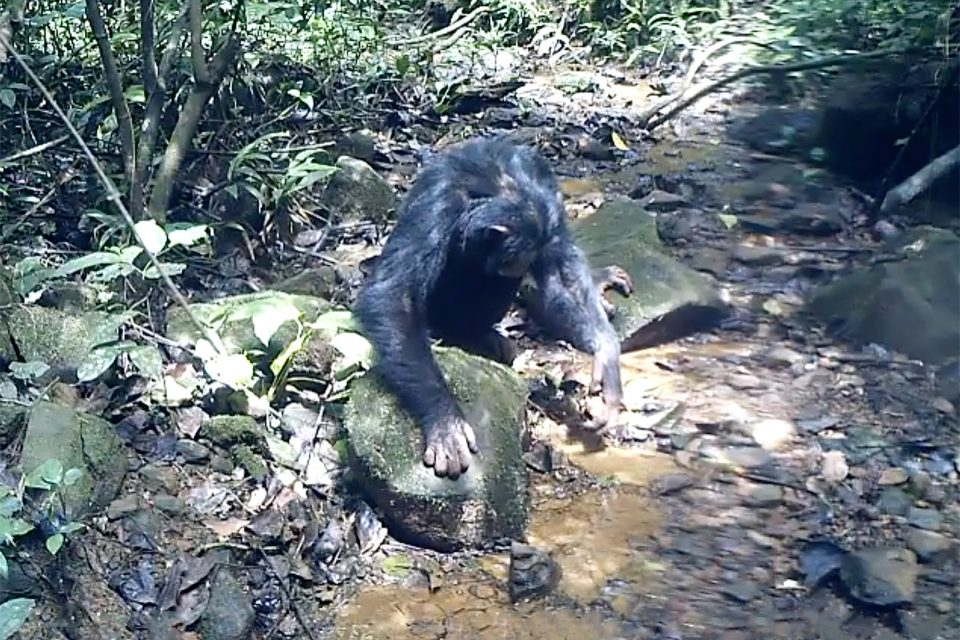 A new study from the University of Zurich is the first produce evidence that chimpanzees hunt and eat freshwater crabs on a regular basis.