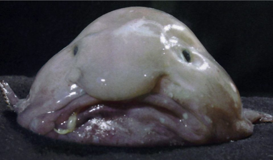 blobfish out of water