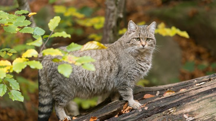 Conservationists are planning to reintroduce European wildcats to parts of England, Wales and Cornwall.