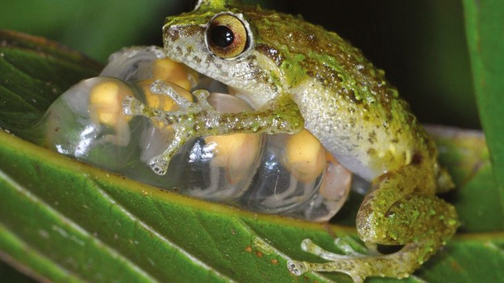 The chytrid fungus has already killed off over 90 frog species and caused population decline in over 500 species worldwide.