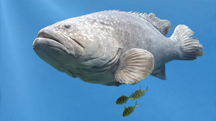 The US Defense Advanced Research Project Agency (DARPA) plans to use Goliath grouper, black sea bass, and snapping shrimp to help monitor human activity.