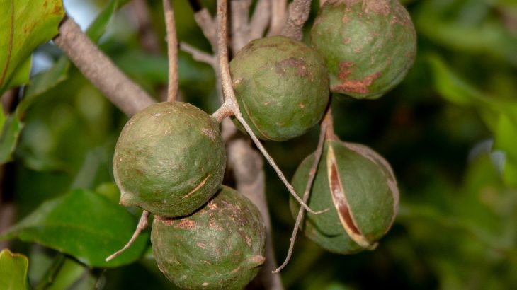 Researchers traced Hawaii's macadamia tree nut crop back to one single cultivar that was brought to the region from a small town in Queensland, Australia.
