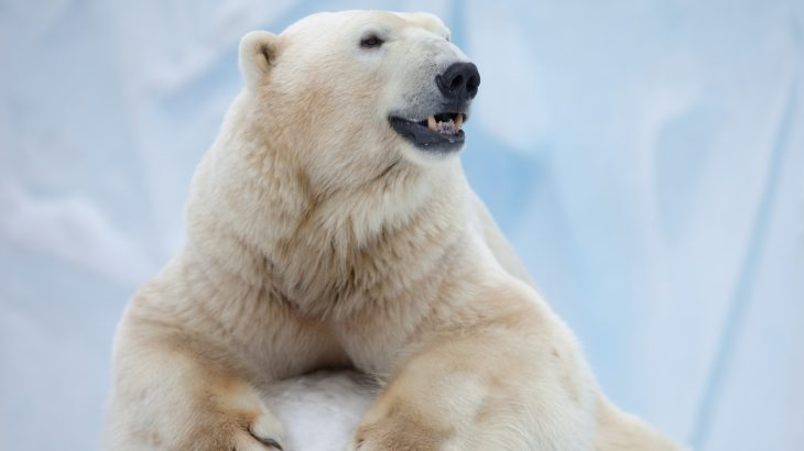 Scientists have developed an insulator that reproduces the structure of individual polar bear hairs for applications in architecture and aerospace.