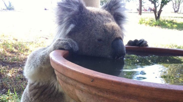 According to a new study, drinking stations for koalas could be key to their survival, especially amidst hotter and drier conditions.