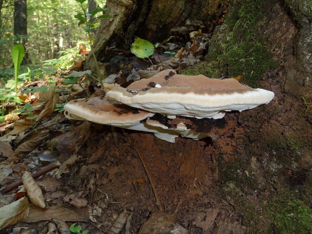 artist's conk fungus