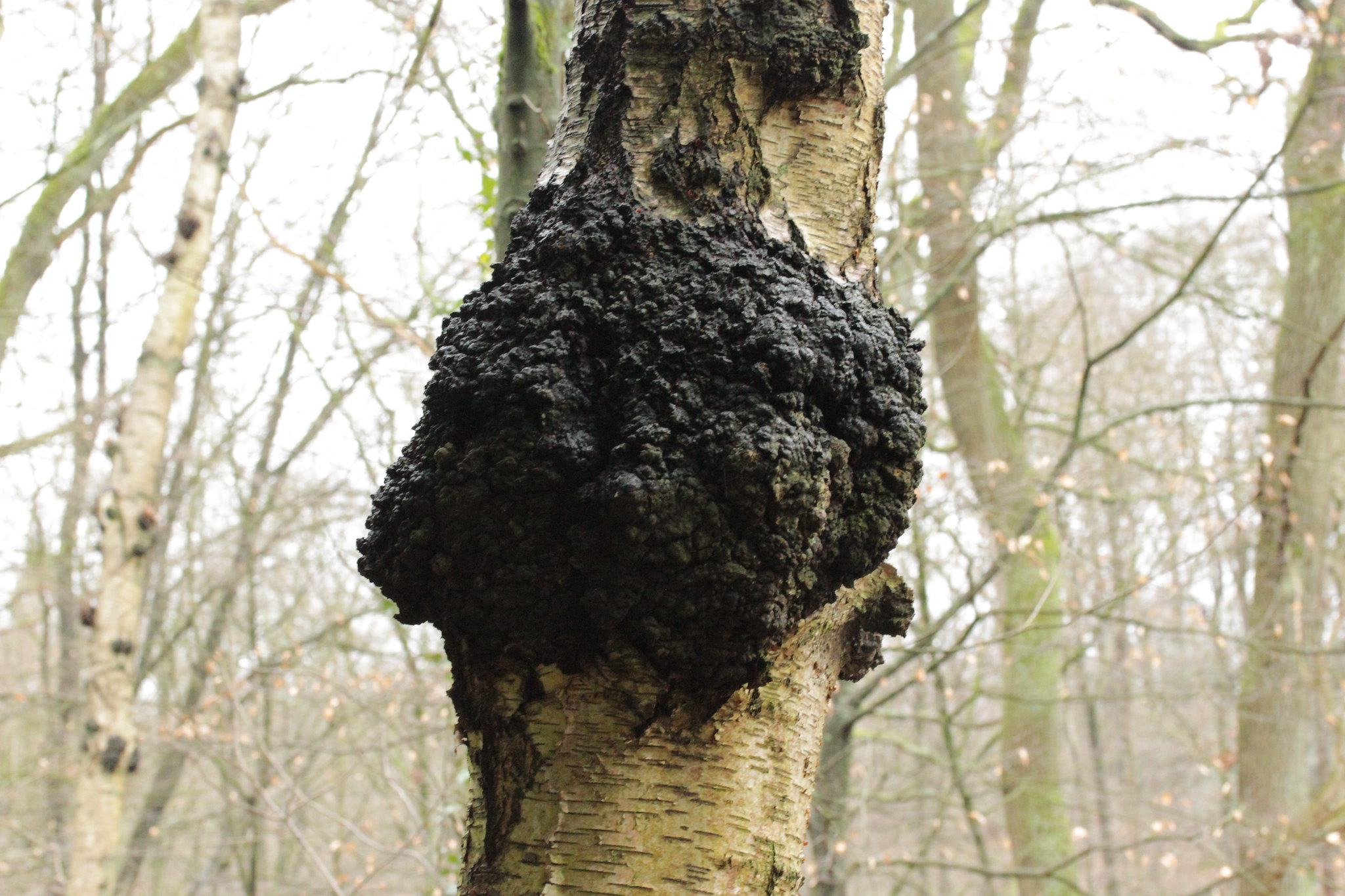 chaga mushroom on birch tree