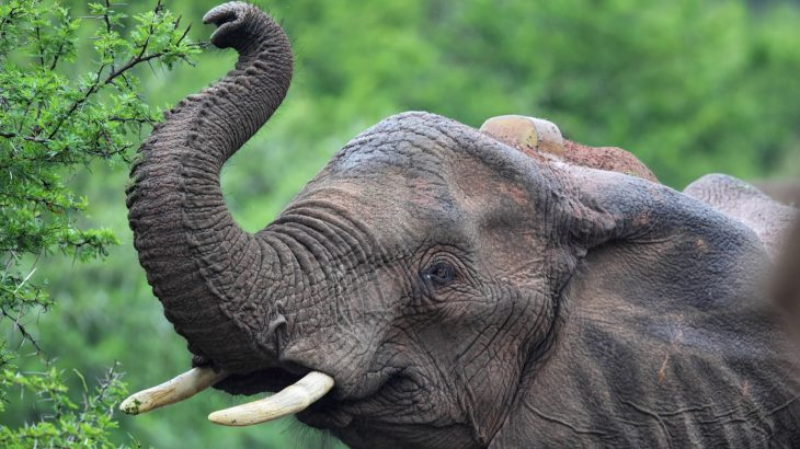 A collaborative team of researchers has discovered that elephants use their trunks to sniff out quantities.