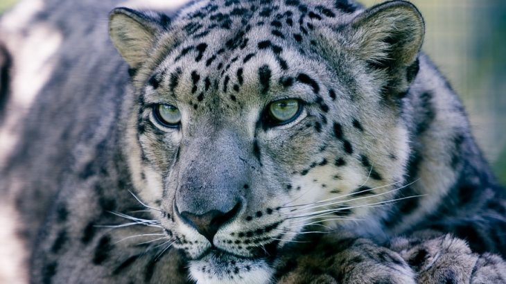 The snow leopard is a threatened and highly vulnerable species that lives in the mountain ranges of Central Asia.