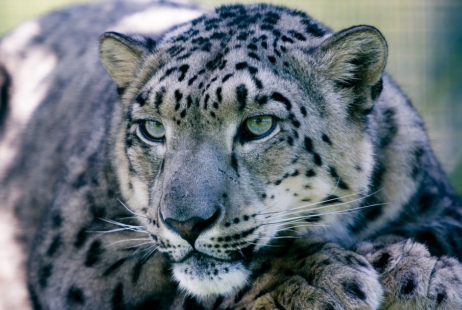 Snow Leopards Face Threat Of Disease Epidemic That Could Spread To Humans Earth Com