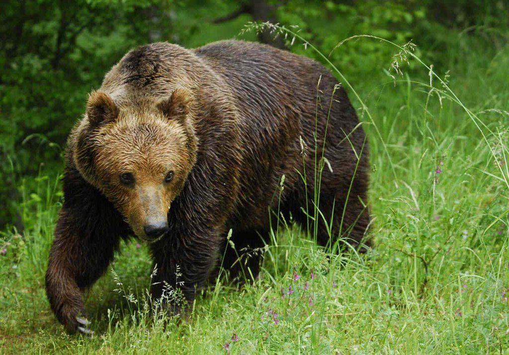 grizzly bear climate change
