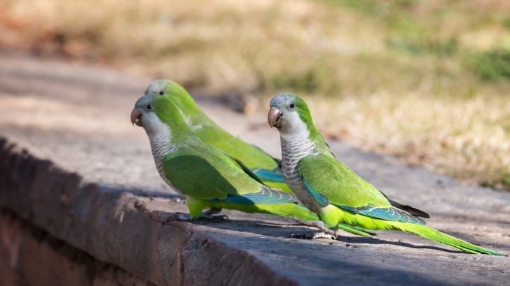 Several species of escaped parrots, including monk parakeets, have left pethood behind to form thriving populations in 23 U.S. states.