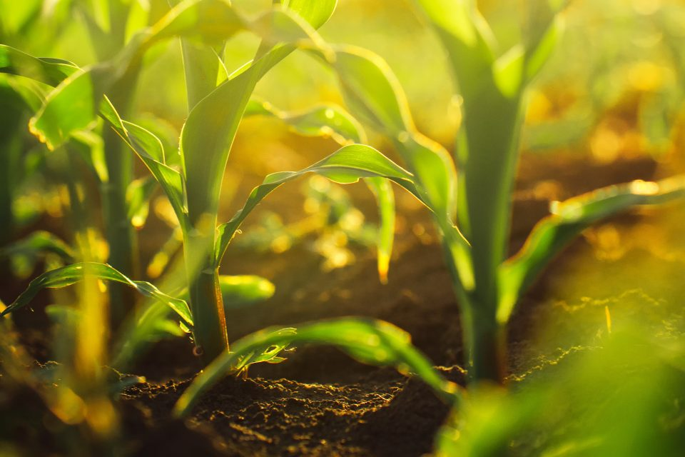 A new study led by the University of Cambridge has identified a gene that can be manipulated to help produce higher crop yields.