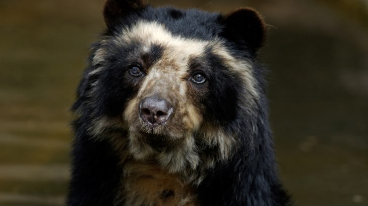 Andean bears, also known as spectacled bears, are almost mythical animals among South American wildlife enthusiasts.
