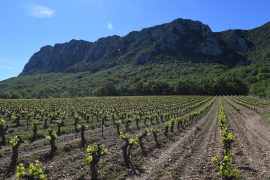Scientists have discovered that a grape variety still used in wine production in France can be traced back 900 years to just one ancestral plant.