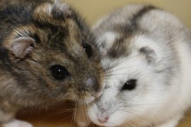 Cyclical changes make the Siberian hamster a model organism for studying biological processes dictated by seasonal changes.