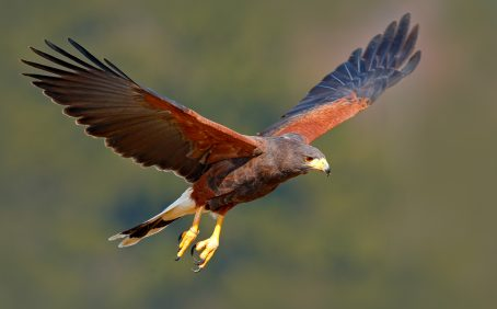 When hawks pursue their prey, they utilize a mix of several types of guidance law that could help design drones used for capturing rogue drones in crowded areas.