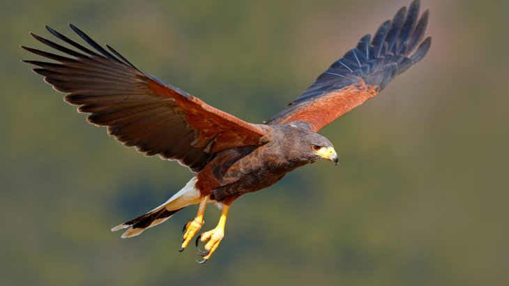 The hunting methods used by hawks could help design new drones • Earth.com