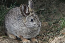 Agriculture, overgrazing, development and invasive species have destroyed more than half of Washington habitat of Columbia Basin pygmy rabbits.