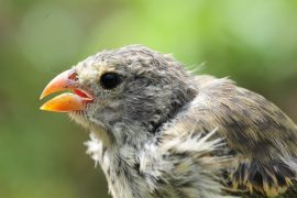 An invasive parasite on the Galápagos Islands has found a host in the famed finches that once captivated Charles Darwin, and as a result, the finches' beaks are changing shape.