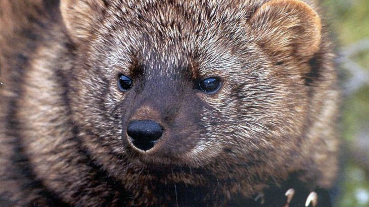 What Is A Fisher Cat Earthpedia Earth Com