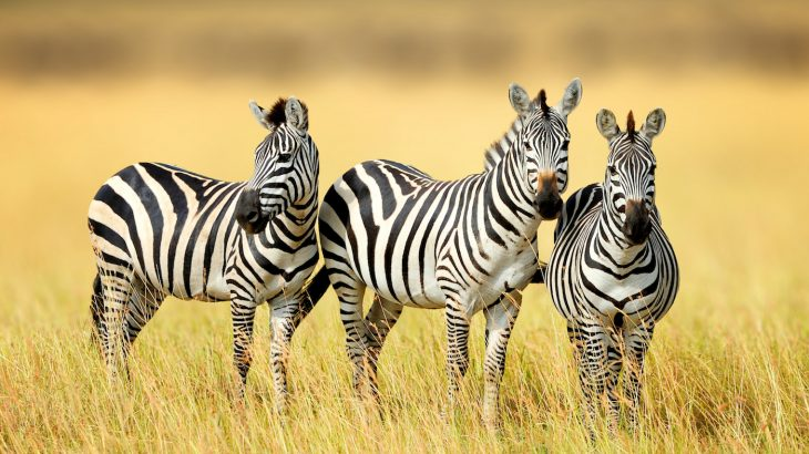 New research shows that a zebra's black and white stripes are just one part of a cooling mechanism that helps regulate body temperature.