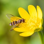 Scientists at the University of Exeter are reporting that migratory hoverflies are critical for pollination and controlling crop pests as many other insects decline.