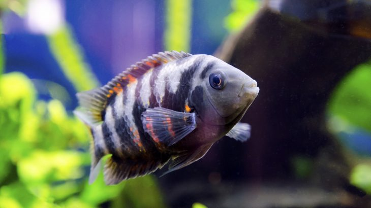 The investigation was focused on the convict cichlid, a Central American fish that forms long-lasting monogamous pairs and collaborates closely as parents.