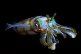 According to a new study, squid will not only survive during climate change-caused ocean acidification, but they could even flourish within their changing habitat.