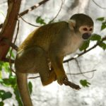 "South American monkeys, lemurs, and apes currently face an ""elevated risk of extinction"" due to climate change-induced increasing temperatures."