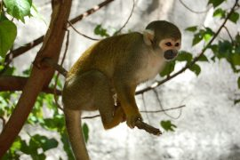 """South American monkeys, lemurs, and apes currently face an """"elevated risk of extinction"""" due to climate change-induced increasing temperatures."""