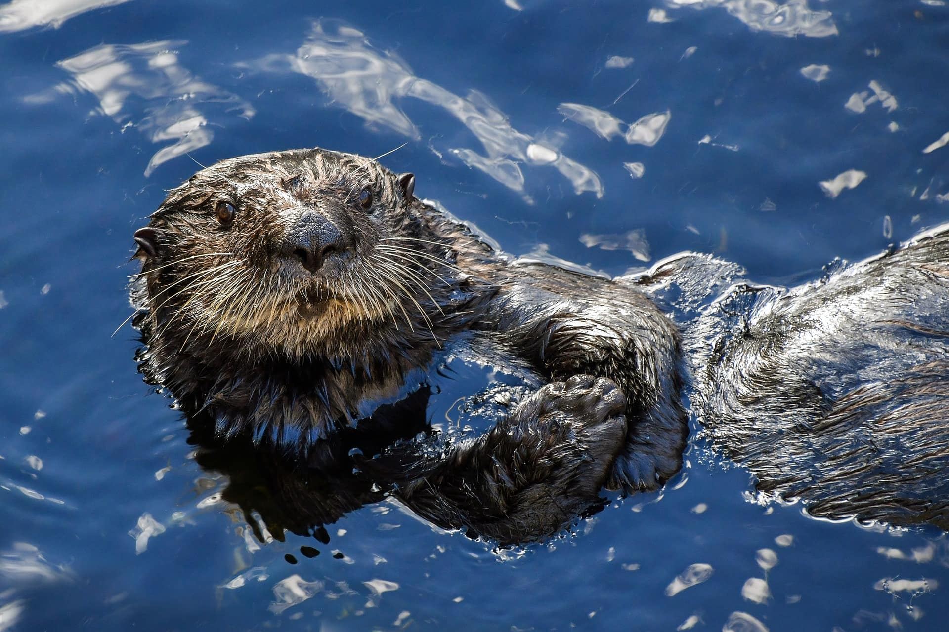 A sea otter floating on its back looking into the camera.
