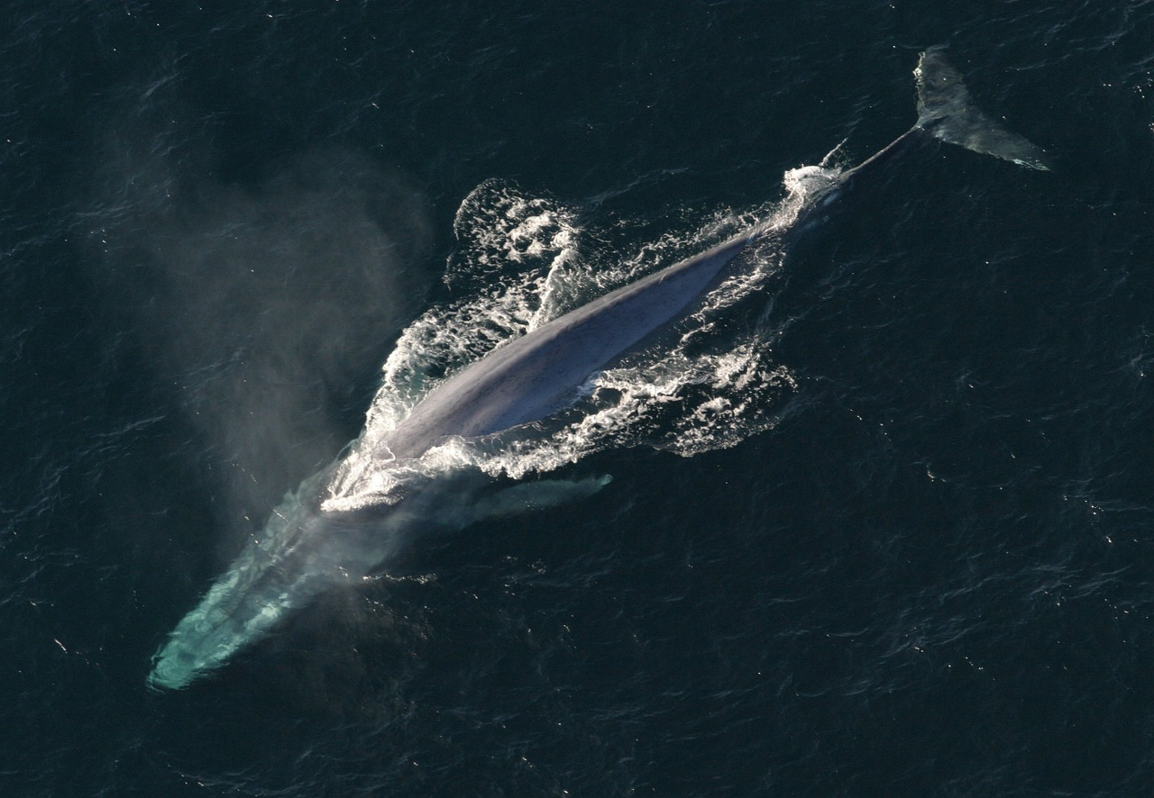 A blue whale breeching the surface taken from above in the ocean.