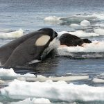 A killer whale hunting a Weddell seal on an ice floe near Rothera Station, along the Antarctic Peninsula.