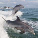 The NOAA announced an Unusual Mortality Event after a record number of stranded bottlenose dolphins have been reported along the northern Gulf of Mexico.