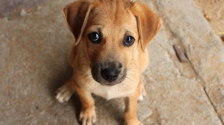 Dogs Evolved Their Puppy Dog Eyes To