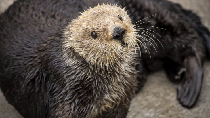 A team of scientists is reporting that sea otters have low genetic diversity, which is a characteristic commonly found among threatened or endangered animals.