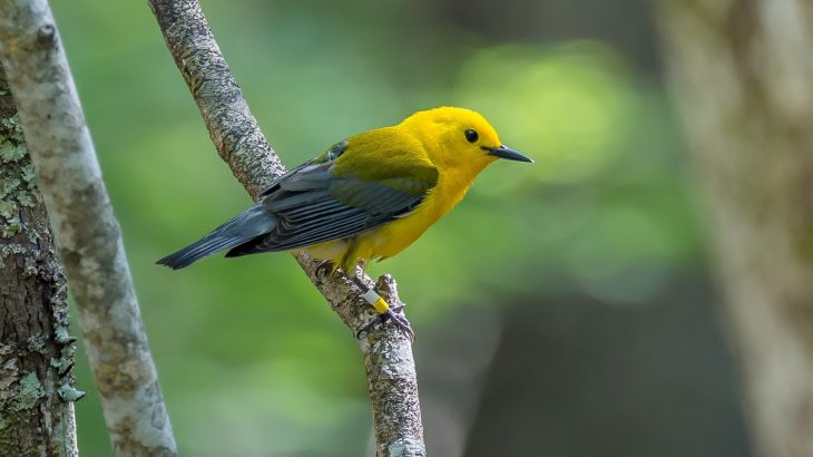 To protect North American songbird populations, researchers need to know where the birds go during their annual migrations.