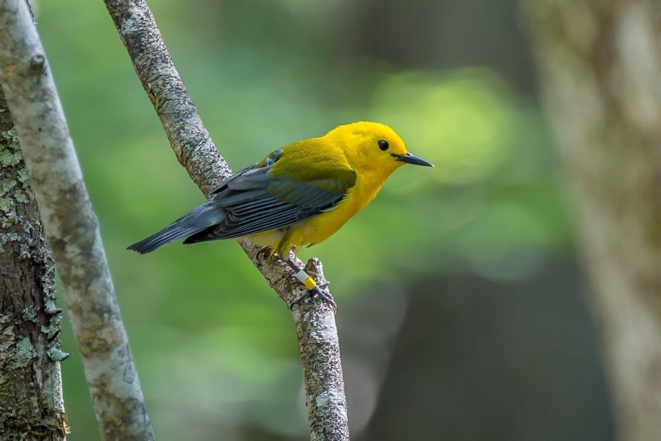 Tracking migration patterns could help with songbird conservation