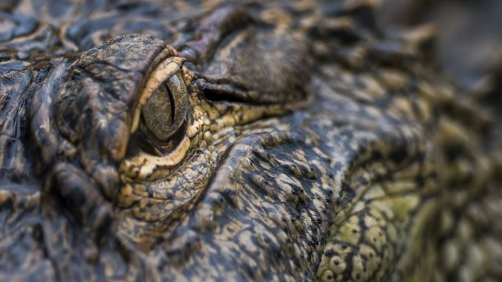 Ancient crocodiles could serve as resources for studying historical environmental conditions, much in the same way that scientists use ice cores and tree rings.